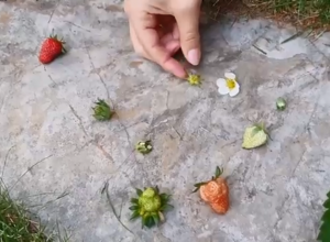 cycle de la fraise montessori jardinage